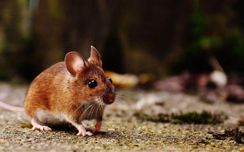 5 Ways To Keep Mice Out Of Your Camper Or RV Naturally